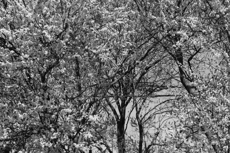 Springtime in New Canaan Photo: Humberto J. Rocha / Hearst Connecticut Media / New Canaan News