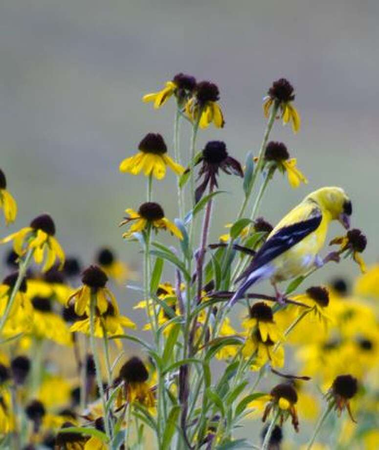 American Goldfinch feeding on Black-eyed Susan. Photo: Nita Schiro