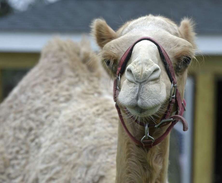 Ridgefield Couple Introduces Camel To The Neighborhood