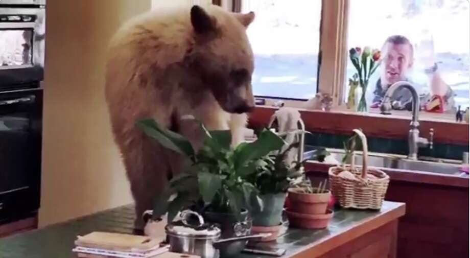 The Placer County Sheriff's Office posted a video of the bear inside the house on its Twitter account Thursday. Photo: Placer County Sheriff's Office