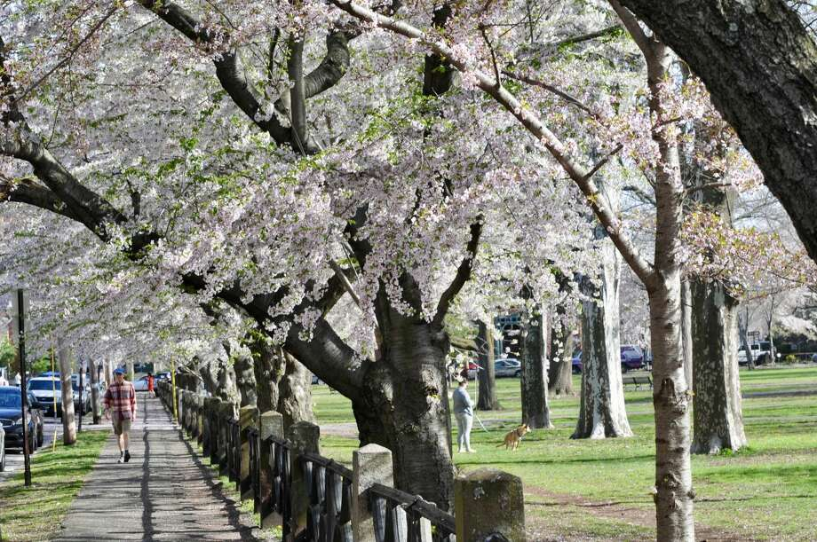 Scenes around Wooster Square Park in New Haven as the cherry blossoms bloom on May 5, 2018. Photo: Anjani Jain / Submitted Photo