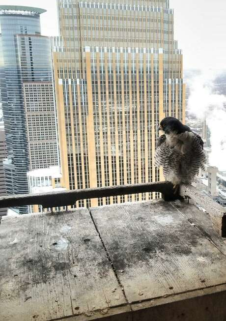 Triumph, one of two peregrine falcons who wintered in San Antonio, is shown back at his home atop the Multifoods Tower in Minneapolis in March 2018. San Antonio birdwatchers first reported seeing Triumph, and Radisson, a female falcon from Edmonton, Alberta in Canada, soaring above downtown high rises in early January 2018. Radisson also has made it safely home to Alberta. Photo: Photo Courtesy Of The Midwest Peregrine Society /