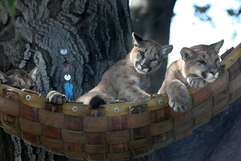 Five-month-old mountain lion cubs Toro (left), Coloma and Silverado relax in a hammock at the Oakland Zoo. Photo: Liz Hafalia / The Chronicle