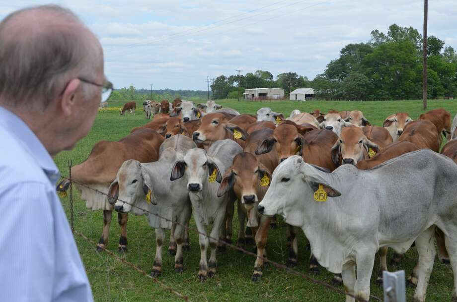 Dr. Ron Randel, Texas A&M AgriLife Research physiologist looks over a herd of purebred Brahman heifers at the North Farm near the Texas A&M AgriLife Research and Extension Center in Overton.  Photo: Adam Russell/Texas A&M AgriLife Communications