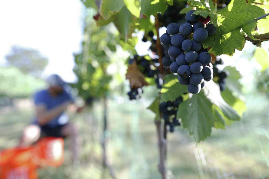 Bending Branch Winery near Comfort has an expensive machine that gives Texas grapes a fighting chance to fully express themselves despite the vagaries of our climate. Photo: Kin Man Hui, Staff / San Antonio Express-News / ©2017 San Antonio Express-News