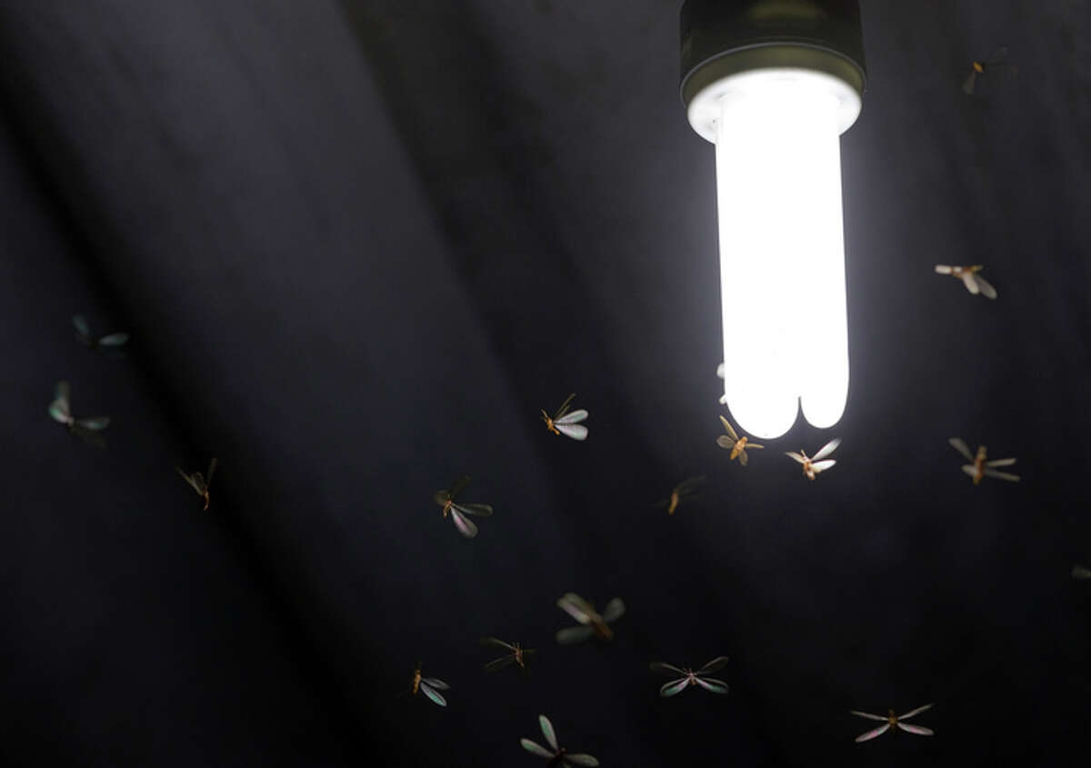 Formosan termites swarm in the two weeks surrounding Mother's Day and are highly destructive, experts say.