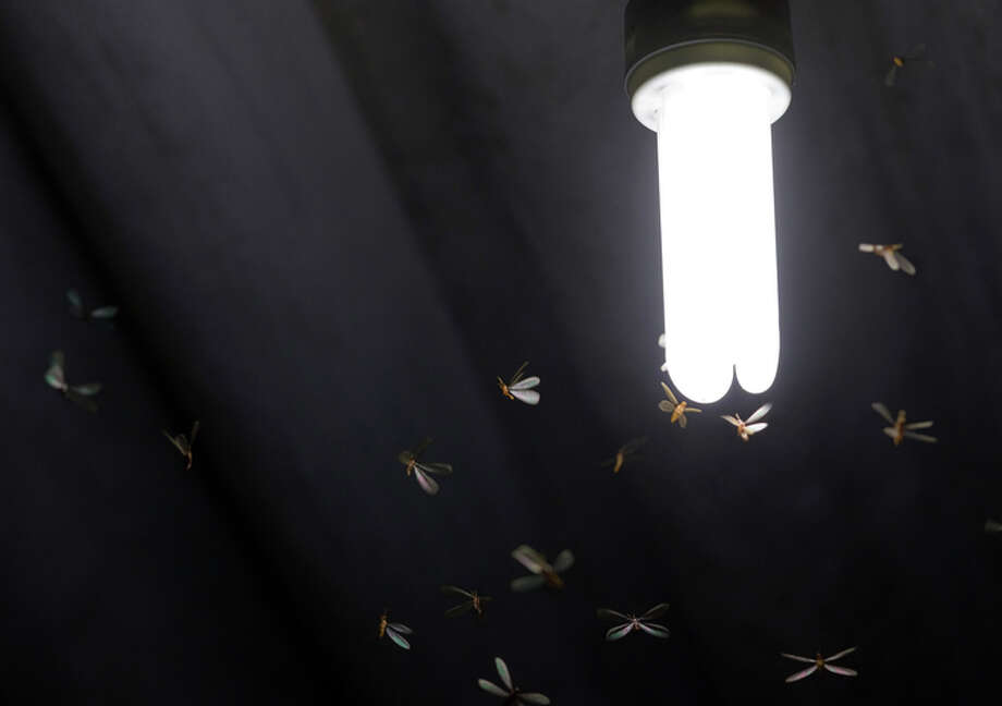 Formosan termites swarm in the two weeks surrounding Mother's Day and are highly destructive, experts say. Photo: Brunorbs/Getty Images/iStockphoto