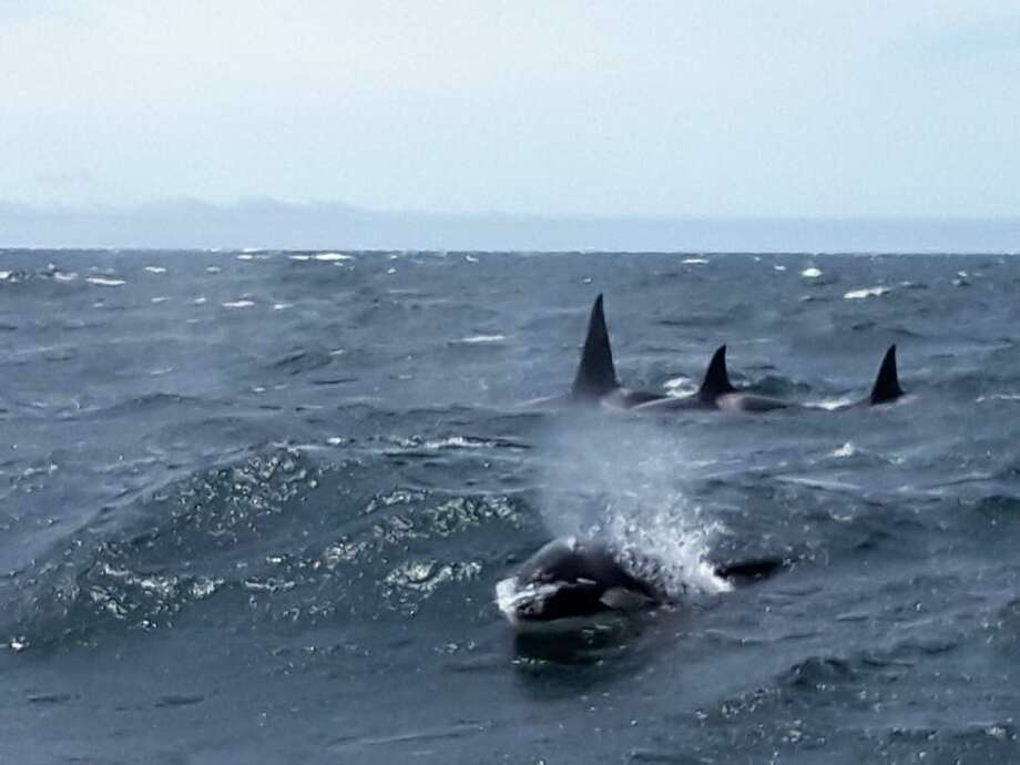 "A pod of killer whales was seen ""surfing"" the choppy waves of Monterey Bay on May 6, 2018. Photo: Scottie Schmidt"