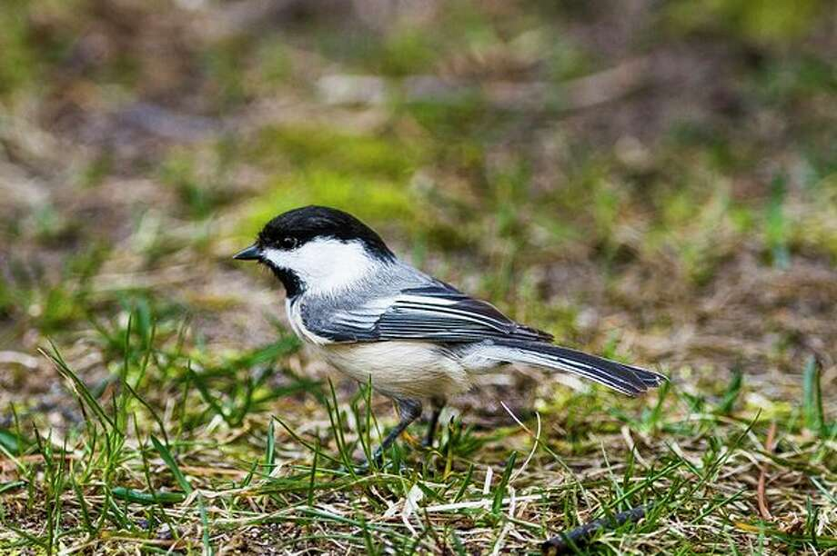 A black-capped chickadee walks through the grass at Dow Gardens. (Katy Kildee/kkildee@mdn.net)