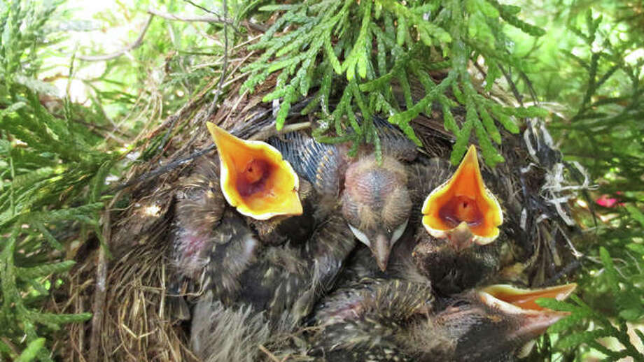 Baby robins wait in their nest for food.
