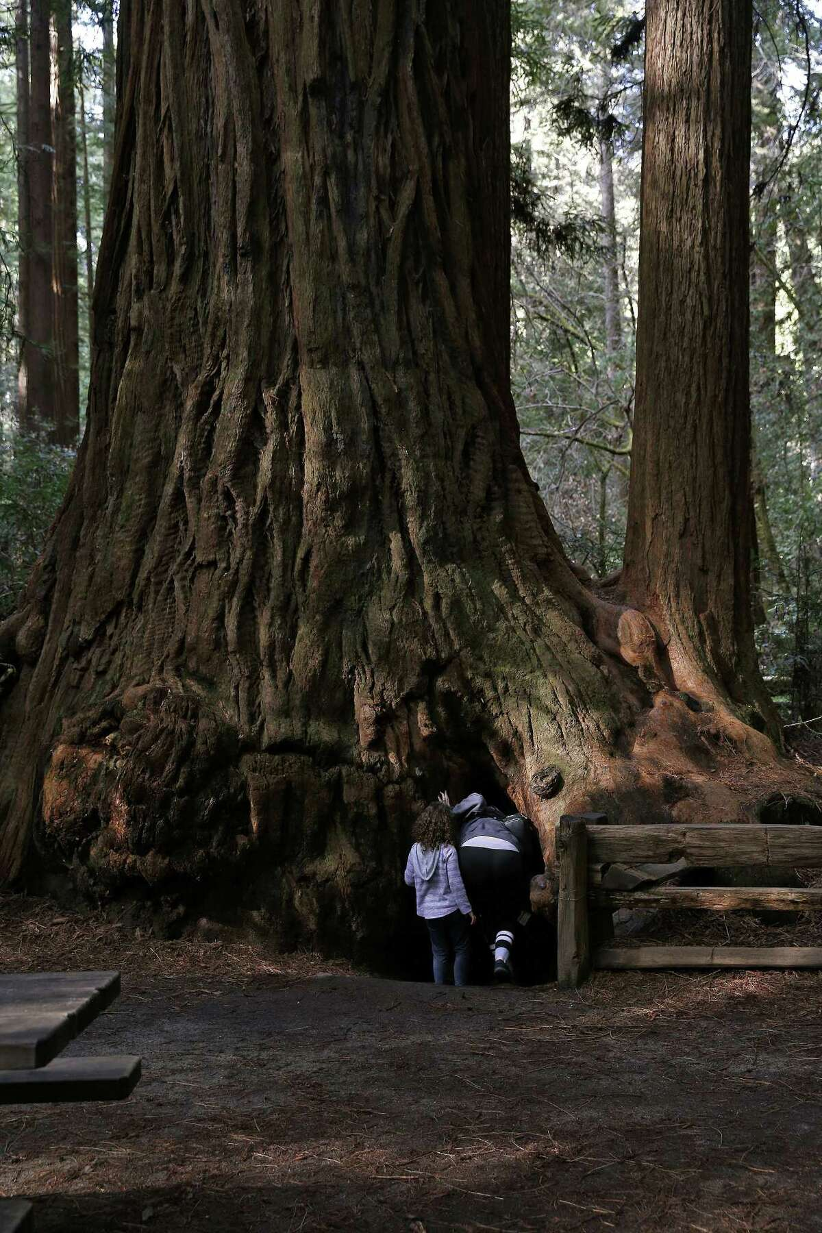Visitors peek inside the Fremont Tree, a redwood which you can stand inside, at Henry Cowell Redwoods State Park in Felton, California.