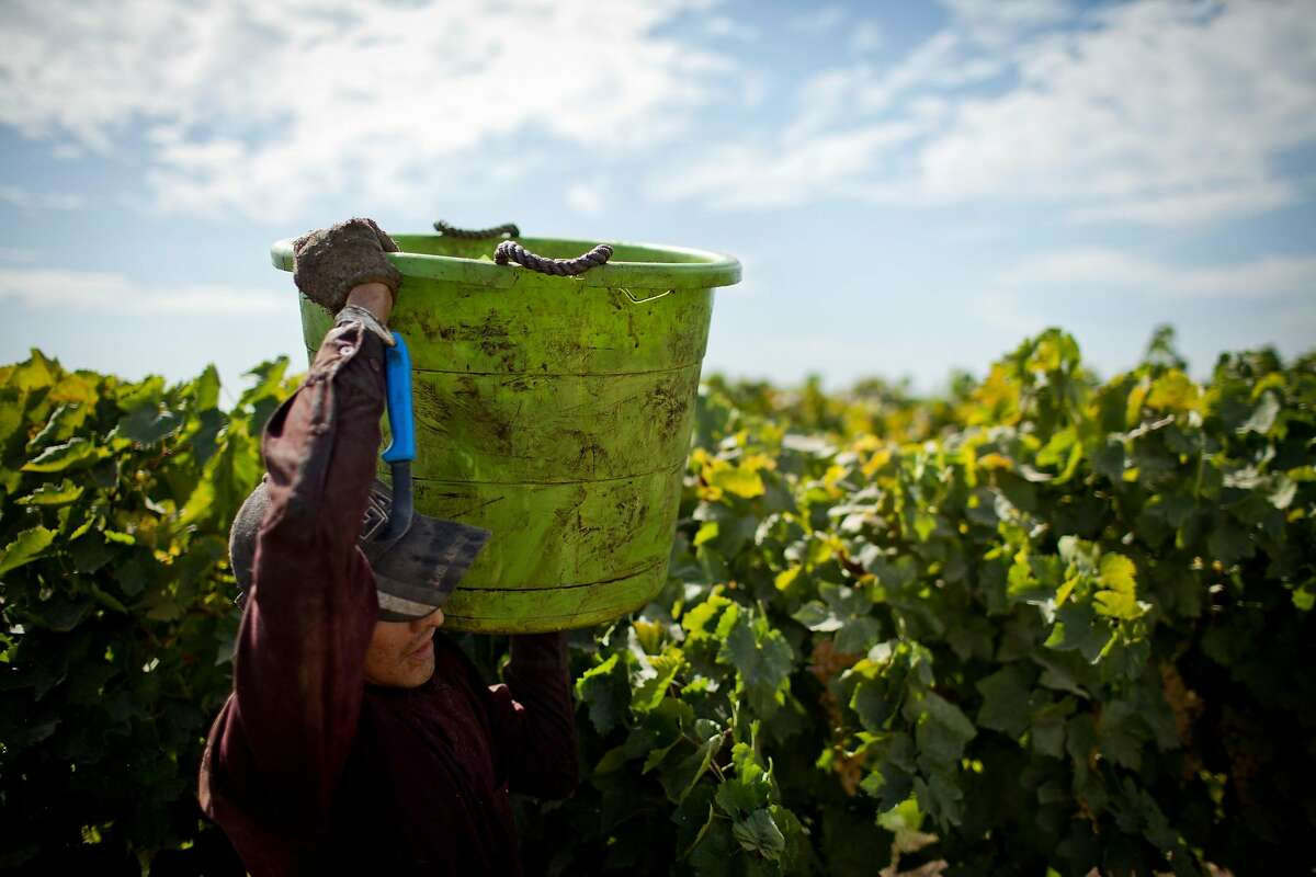 FILE -- A worker harvests grapes used for raisins in Sanger, Calif., Sept. 20, 2012. Sen. Dianne Feinstein and Rep. Zoe Lofgren are supporting a bill to provide agricultural workers with the status to work legally in the U.S. (Max Whittaker/The New York Times)