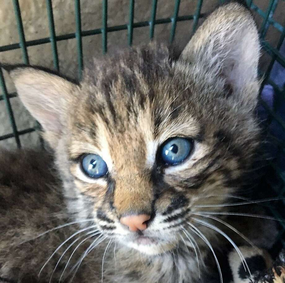This is one of two bobcat kittens that a San Antonio resident on the Northeast Side resident claimed to have found in early May in an alley near her home, not far from Salado Creek. Later, she admitted that a cousin had found them in Atascosa County and they were brought to her home in San Antonio Photo: Photo Courtesy Of Animal Care Services /