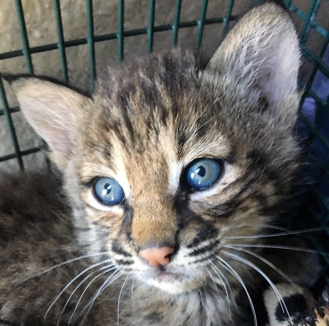 Story Of Baby Bobcats Found On San Antonio S Northeast