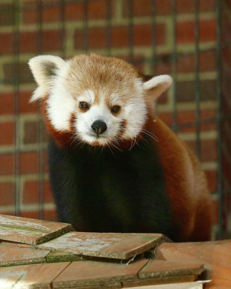 Connecticut's Beardsley Zoo offers free admission for moms on Mother's Day. Above is a red panda. Photo: Shannon Calvert / Conntributed Photo