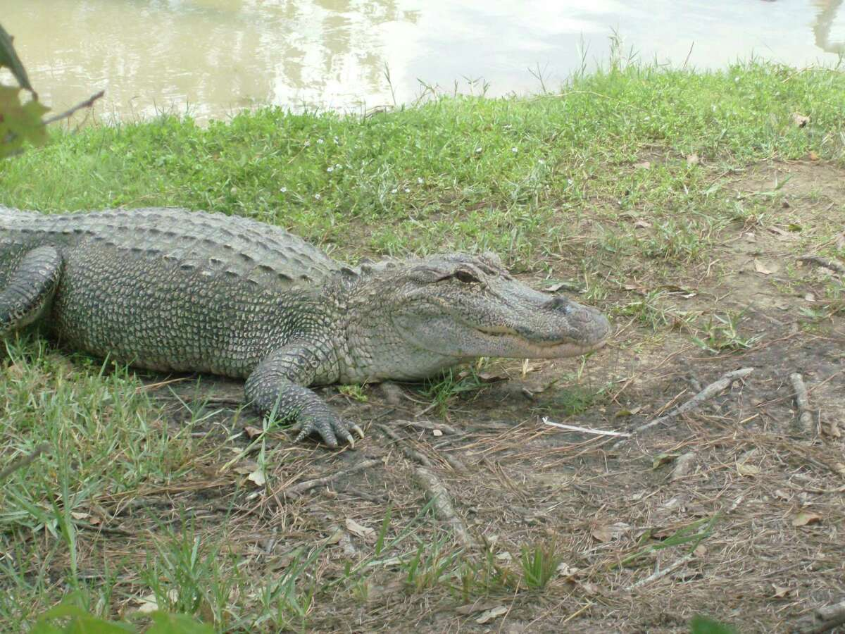 An alligator in the wild can be one of the most dangerous and terrifying sights you will ever see unless treated with due caution and wariness.
