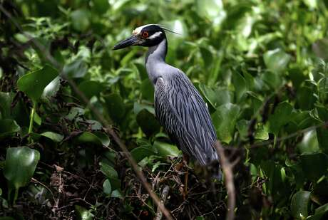 A yellow crowned night heron along the 40 Acre Lake trail in Brazos Bend State Park Thursday, July 2, 2015, in Needville, Texas. ( Gary Coronado / Houston Chronicle )