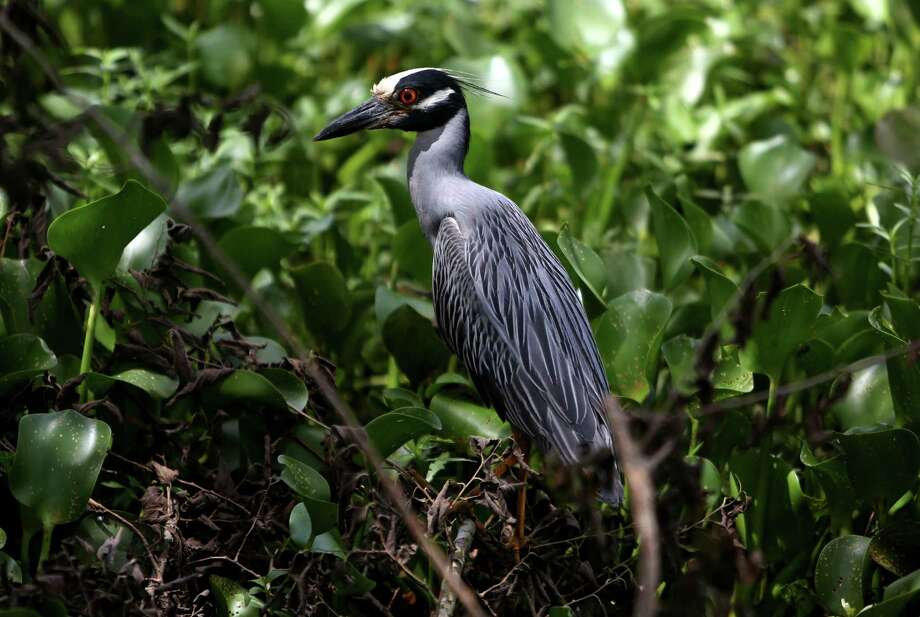 A yellow crowned night heron along the 40 Acre Lake trail in Brazos Bend State Park Thursday, July 2, 2015, in Needville, Texas. ( Gary Coronado / Houston Chronicle ) Photo: Gary Coronado, Staff / © 2015 Houston Chronicle