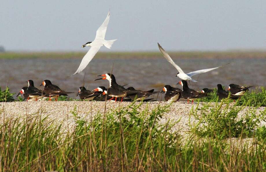 A pair of gull-billed terns, one with a crab in its mouth, wheel over several black skimmers standing on one of two 3/4-acre islands created as nesting habitat as part of a multi-faceted project in Cow Trap Lake on the San Bernard  National Wildlife Refuge. Photo: Shannon Tompkins / Houston Chronicle