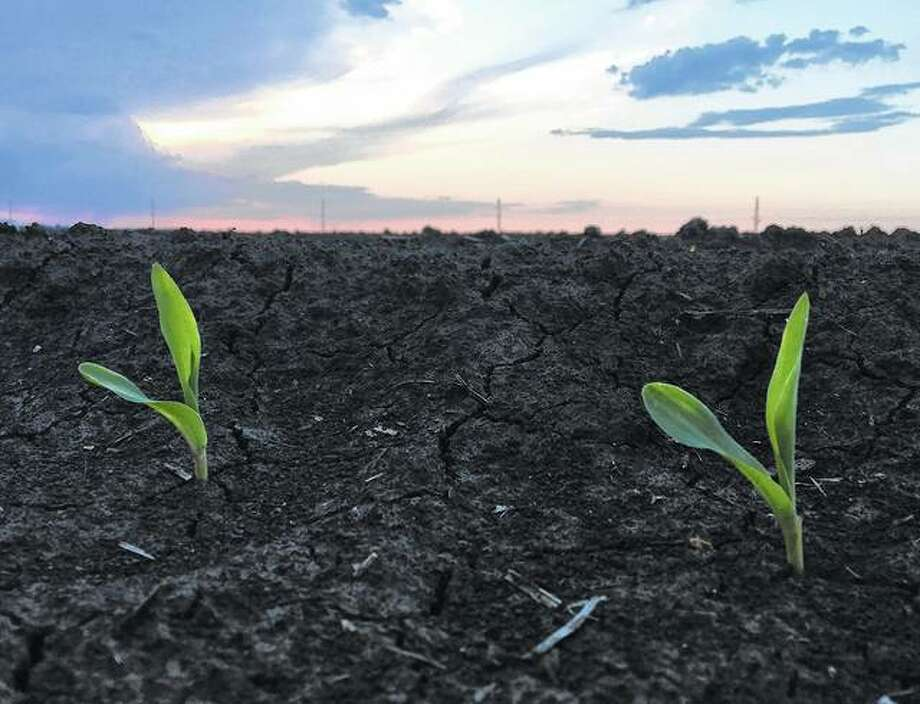 The first signs of newly planted corn pop up through the soil in a field.