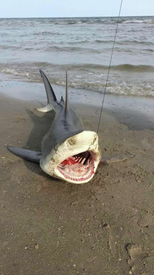 Cody Fuller of League City caught this black tip shark off of the San Luis Pass off the Gulf of Mexico on June 9, 2015. The photo went viral when Issac Hernandez of Houston shared the photo on Facebook on May 3, 2018. Photo: Cody Fuller