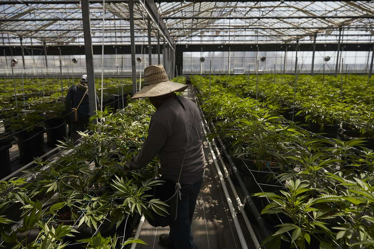 In this Thursday, April 12, 2018, photo, workers work in a greenhouse growing cannabis plants at Glass House Farms in Carpinteria, Calif.