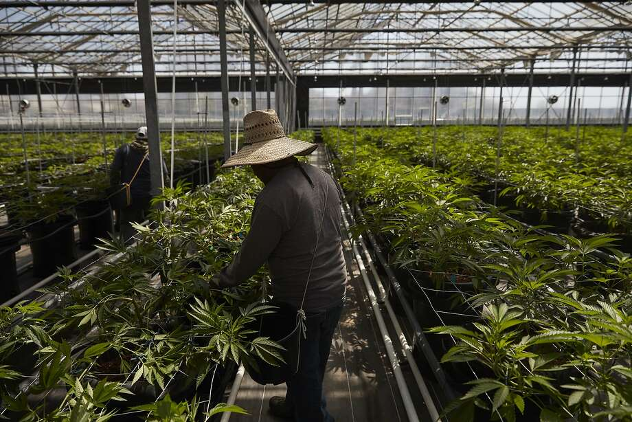 Workers in greenhouse tend to cannabis plants at Glass House Farms in Carpinteria. Photo: Jae C. Hong / Associated Press