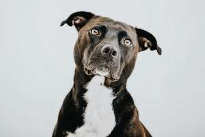 This is not Balew the pit bull, but Balew probably had a similar expression after accidentally shooting his owner.