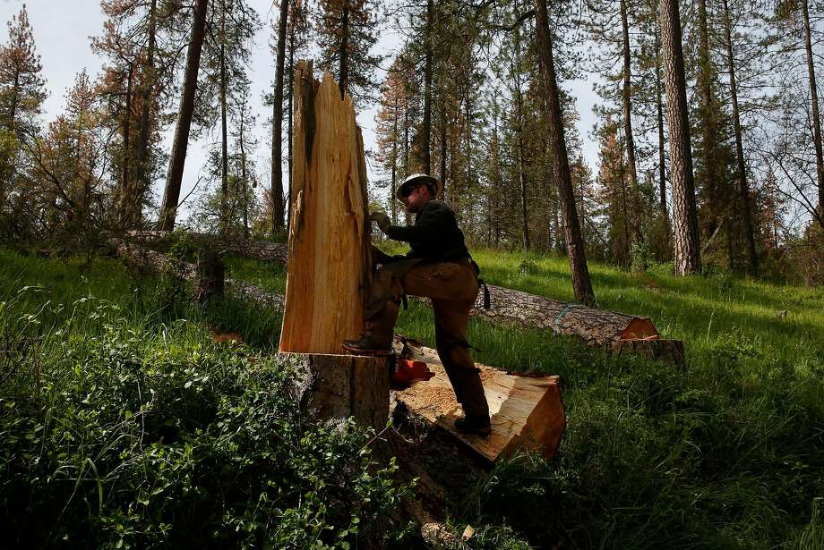 Tree feller Loren White pushes over a piece of a dead tree he chopped down near Sequoia National Park. Photo: Leah Millis / The Chronicle