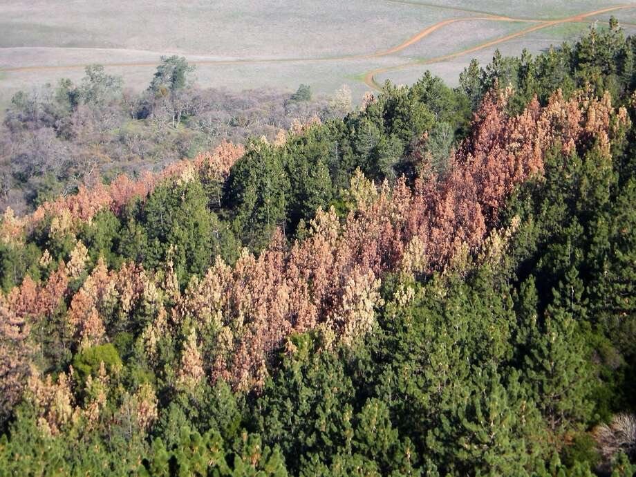 The brown and red tops of dead and dying pine trees stand out in a forest on the east side of Mount Diablo, Contra Costa County. Pine trees are dying by the millions across the state after being ravaged by drought and finished off by bark beetles. Photo: Bill Miller / California State Parks