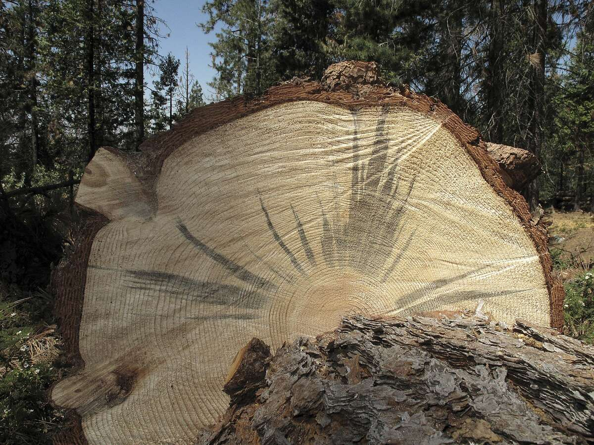 This June 6, 2016 photo shows a tree stained blue by a fungus carried by the bark beetle, which diminishes the trees value as lumber, near Cressman, Calif. California's drought and a bark beetle epidemic have caused the largest die-off of Sierra Nevada forests in modern history, raising fears that trees could come crashing down on people or fuel catastrophic wildfires, devastating mountain communities and choking the sky with smoke. Officials in California say they�re preparing to use large air-blasting incinerators to burn up trees killed by drought and a beetle epidemic ravaging Sierra Nevada forests. (AP Photo/Scott Smith)