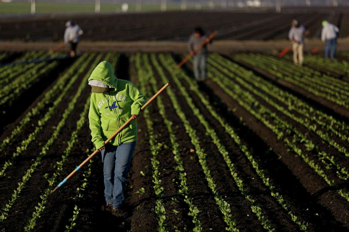 A worker culls rows of lettuce in Salinas, Calif., on March 14, 2017. The Trump administration has reportedly stuck to many of its most controversial demands for changes to NAFTA and needs to show flexibility in order to reach a final deal.(Gary Coronado/Los Angeles Times/TNS)