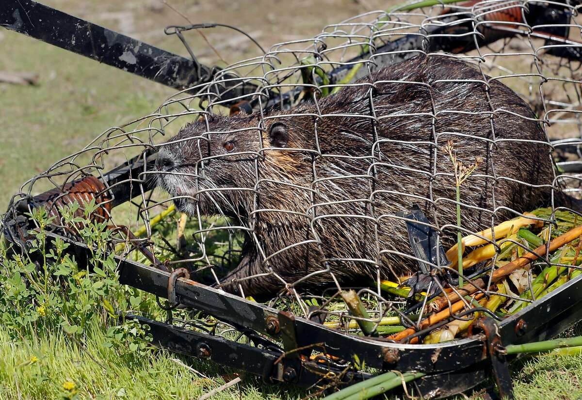 A Nutria caught in a trap placed by biologists with the California Department of Fish and Wildlife, at the China Island state wildlife area near Gustine, Ca. on Wed. May 2, 2018. The Nutria is a threat to agriculture, water infrastructure and wetlands according the the California Department of Fish and Wildlife.