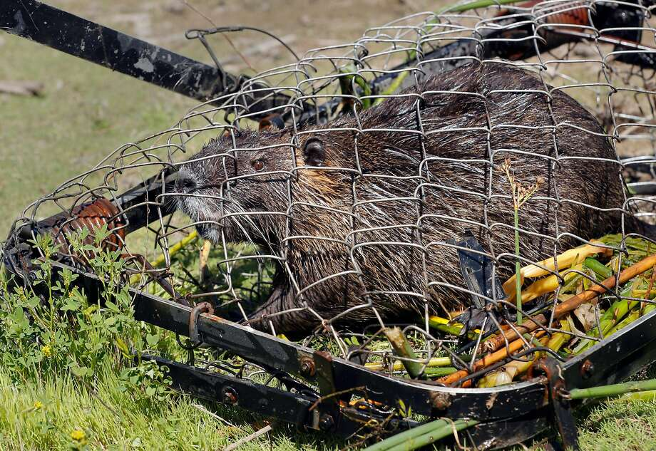 A Nutria caught in a trap placed by biologists with the California Department of Fish and Wildlife, at the China Island state wildlife area near Gustine, Ca. on Wed. May 2, 2018. The Nutria is a threat to agriculture, water infrastructure and wetlands according the the California Department of Fish and Wildlife. Photo: Michael Macor / The Chronicle