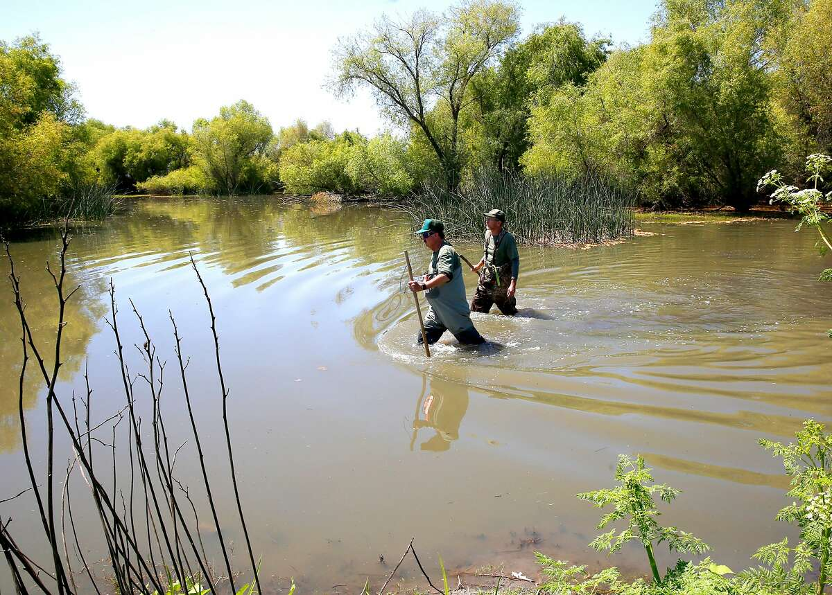 Jeff Cann, (left) and Tim Kroeker with the California Department of Fish and Wildlife, are two of the biologists that look for clues to find Nutria in the area, at the China Island state wildlife area near Gustine, Ca. as seen on Wed. May 2, 2018. The Nutria is a threat to agriculture, water infrastructure and wetlands according the the California Department of Fish and Wildlife.