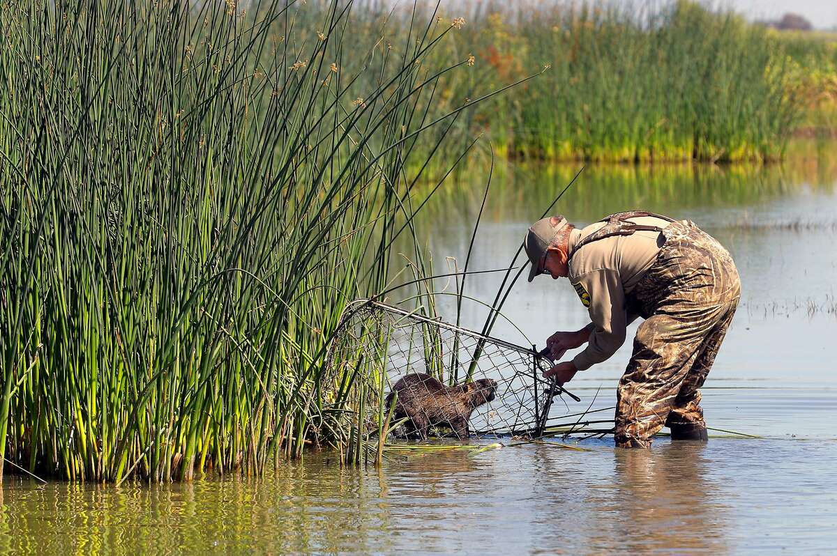 Greg Gerstenberg, senior biologist with the California Department of Fish and Wildlife, finds a Nutria caught in one of the traps they placed at the China Island state wildlife area near Gustine, Ca. on Wed. May 2, 2018. Gerstenberg is the operations chief of the Nutria eradication program. The Nutria is a threat to agriculture, water infrastructure and wetlands according the the California Department of Fish and Wildlife.