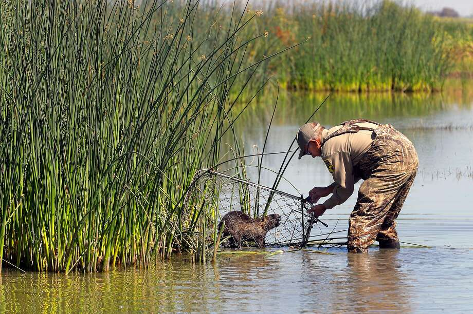 Greg Gerstenberg, California Department of Fish and Wildlife senior biologist, picks up a trapped nutria at China Island. Photo: Photos By Michael Macor / The Chronicle