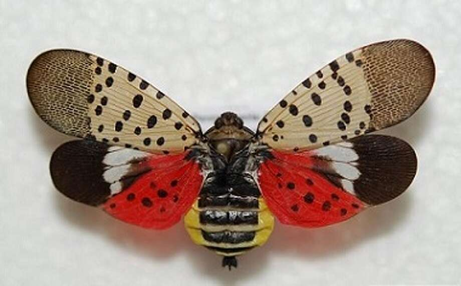 A single adult spotted lanternfly was found inside a parked car at Crossgates Mall last week, according to the state Department of Environmental Conservation. The invasive species, which threatens fruit trees, was likely brought in from an infested part of Pennsylvania. Photo: Lawrence Barringer, Pennsylvania Department Of Agriculture, Bugwood.org