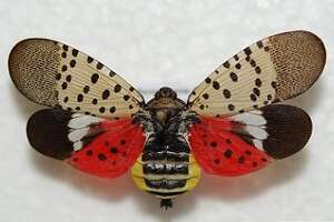 The state Department of Environmental Conservation is alerting the public about an invasive pest, the spotted lanternfly, which primarily feeds on tree of heaven but can also feed on a wide variety of plants such as grapevine, hops, maple, walnut and fruit trees.