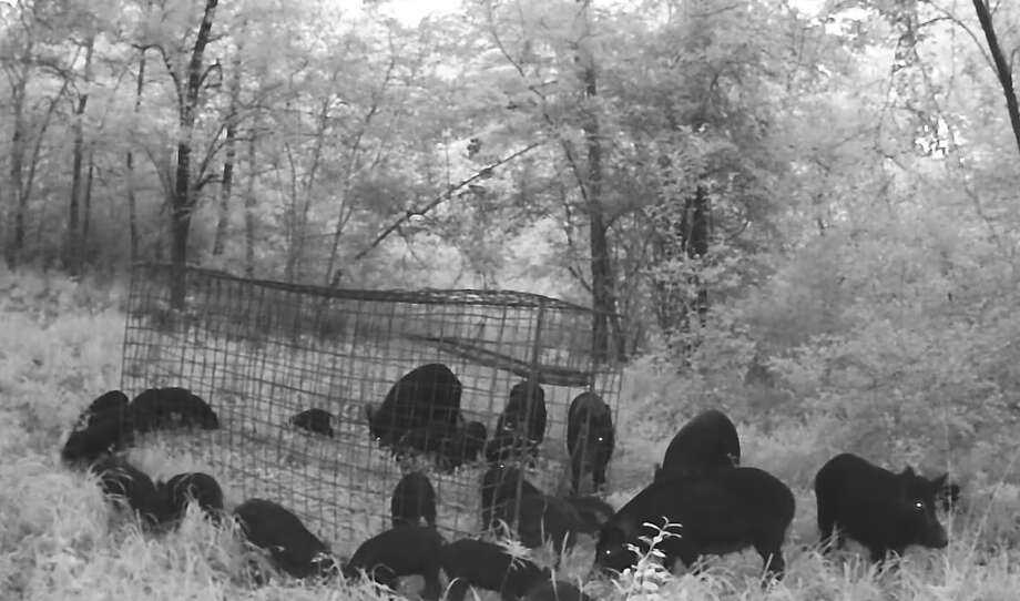 In video footage by Terry Holcomb, wild hogs become accustomed to a trap on Holcomb's property. Holcomb will spring the trap once he knows the maximum number of hogs will go inside it. Photo: Terry Holcomb/Facebook