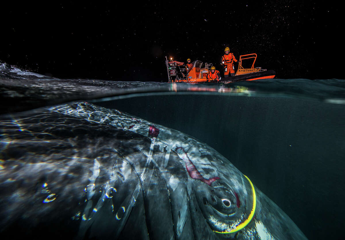The Rescue by Audun Rikardsen Norwegian wildlife photographer Rikardsen had just set out in his boat in search of subjects to document one winter day when he encountered a humpback whale (Megaptera novaeangliae) entangled in a thick, yellow internet cable.