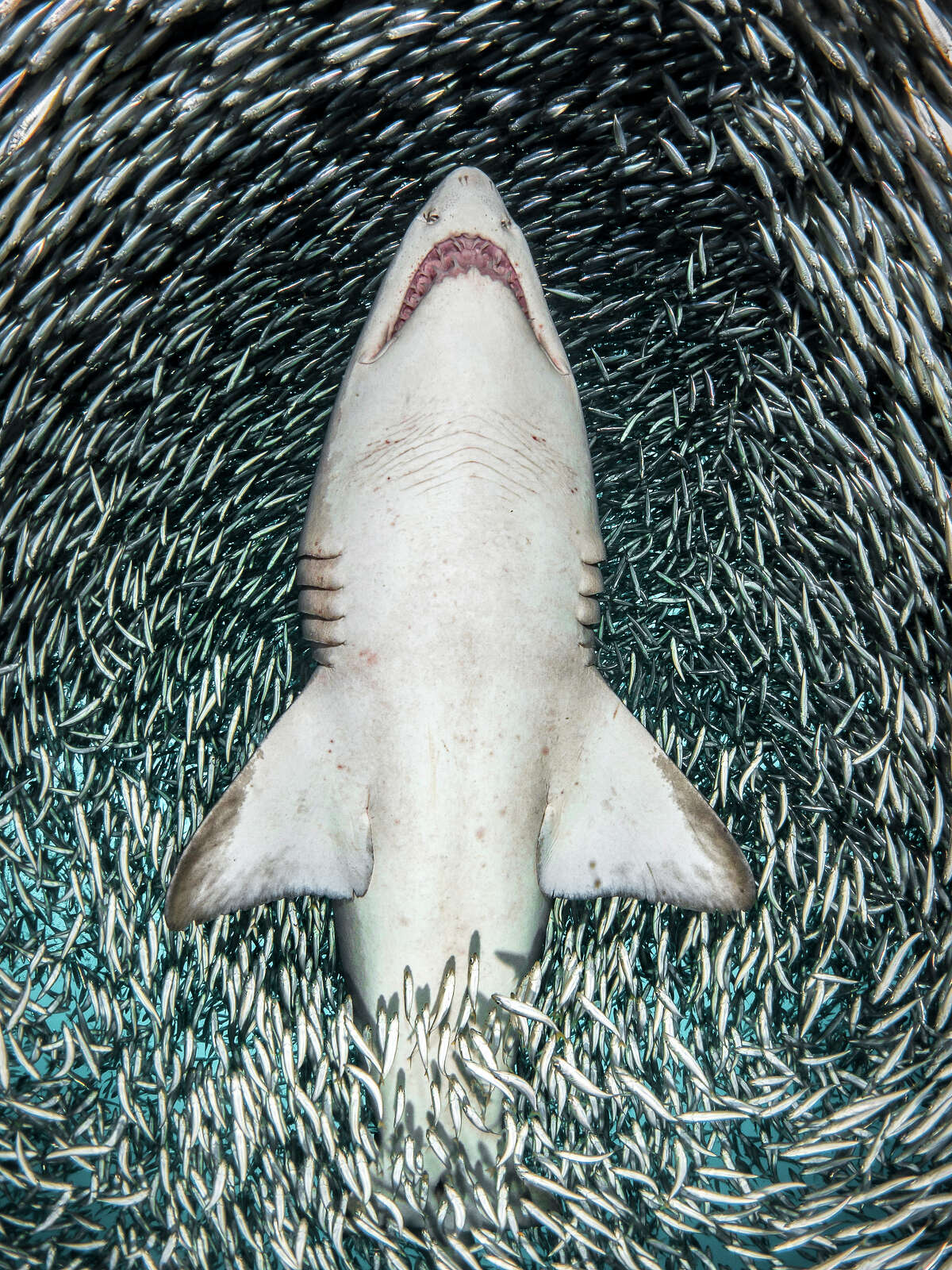 Harmony by Tanya Houppermans A sand tiger shark (Carcharias taurus) swims through a massive bait ball of tiny fish above the wreck of the Caribsea off the coast of North Carolina, USA.