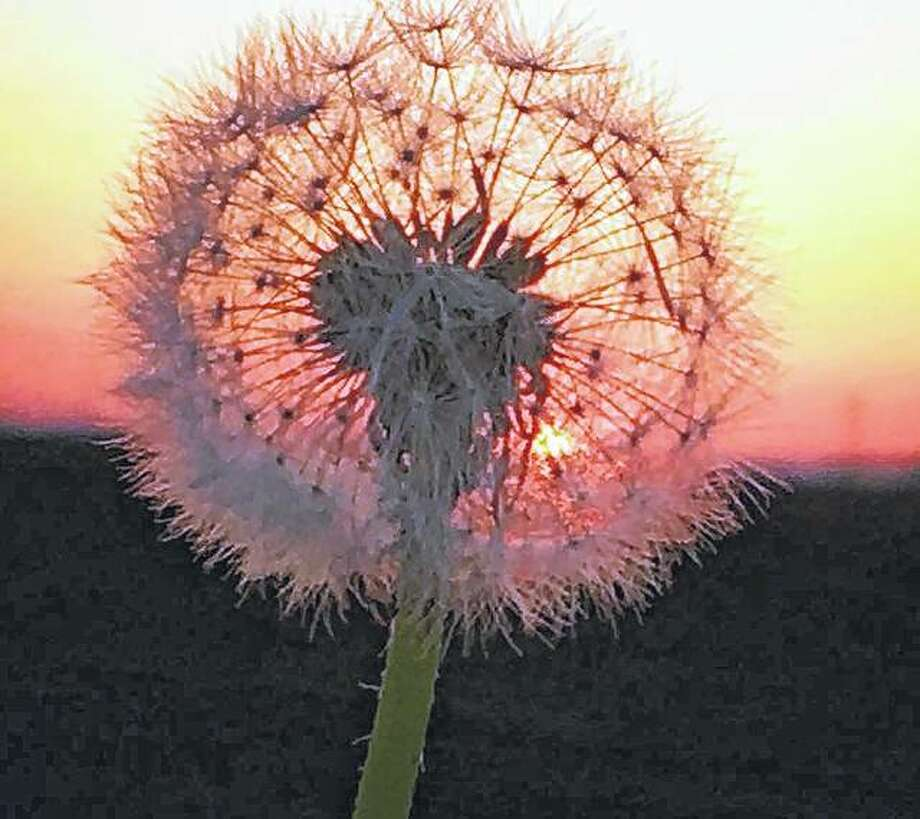 The setting sun adds a splash of color to a dandelion.