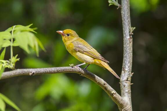 Female summer tanagers have yellow-orange plumage with a bone-colored beak.