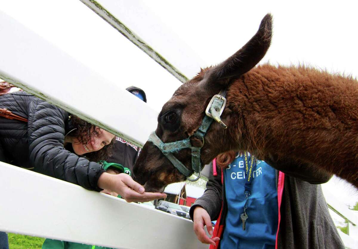 Lauren Wintman, of Trumbull, feeds Donny the llama at the Trumbull Agriscience and Biotechnology Center's annual Mother's Day Plant Sale and Farm Fair in Trumbull, Conn., on Saturday, May 12, 2018. The annual plant sale features plants grown by the Agriscience students. Other activities included sheep shearing, a petting zoo, crafts fair, a silent auction and refreshments.