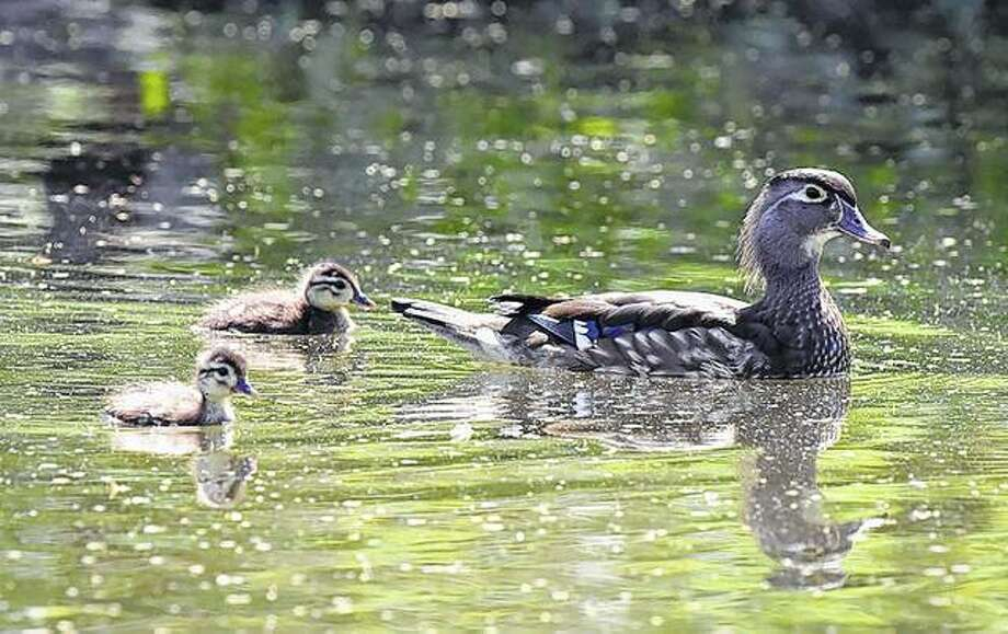 A wood duck and her babies spend a day on the lake.