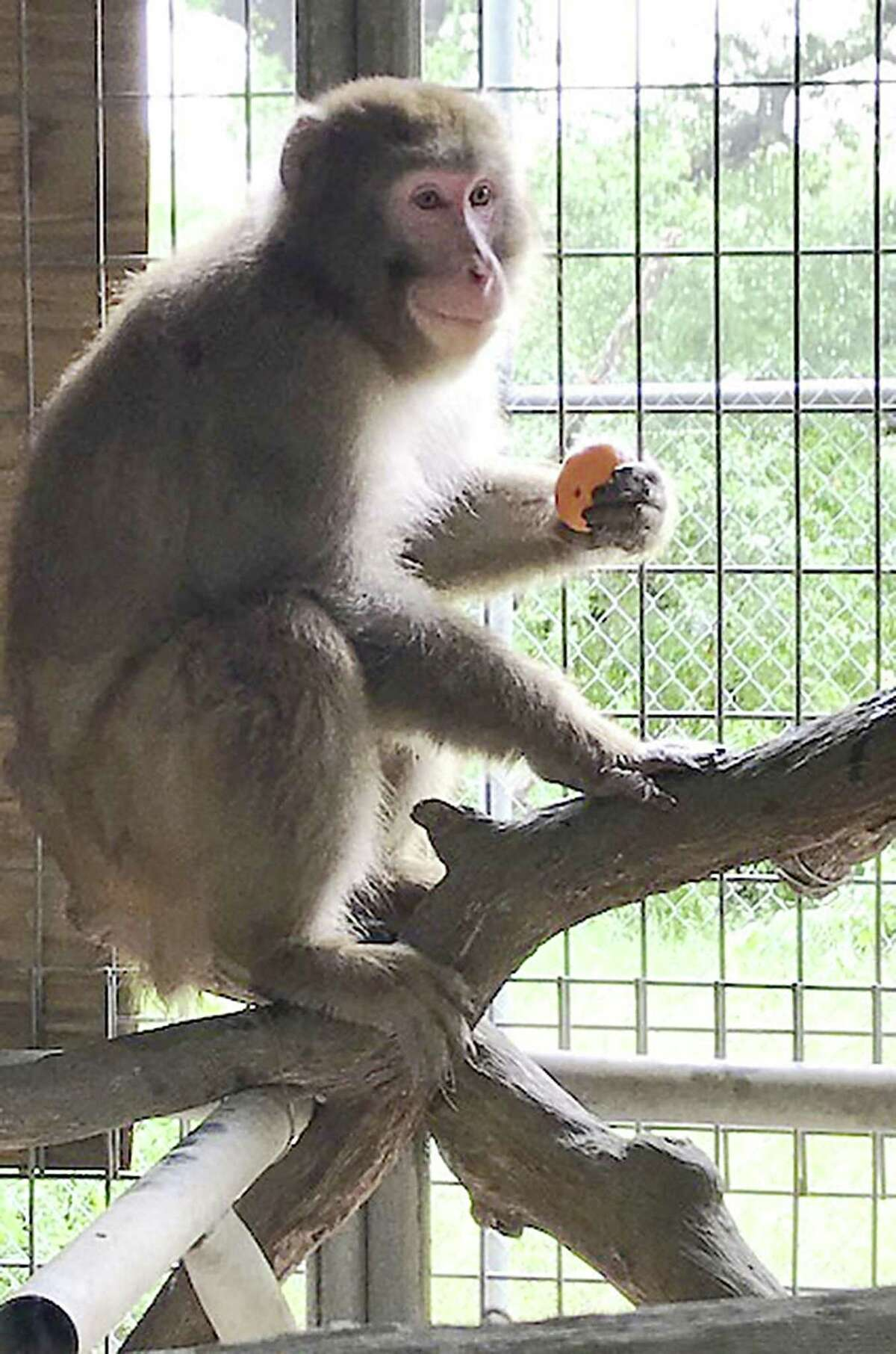 This snow macque rests safely at the Wildlife Rescue & Rehabilitation sanctuary in Kendalia in May 2018. The monkey had been kept in a Rio Grande Valley home but faced euthanasia after a child was bitten. He was saved after a storm of social media protest