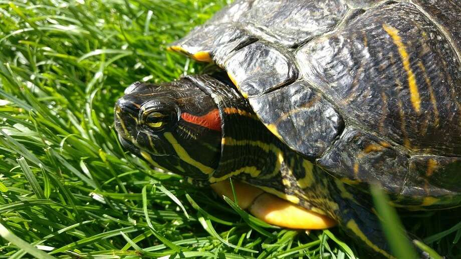 A pet turtle or tortoise may be for you if you want a low-cost pet that enjoys a relaxed lifestyle. Photo: Courtesy Of Texas A& University