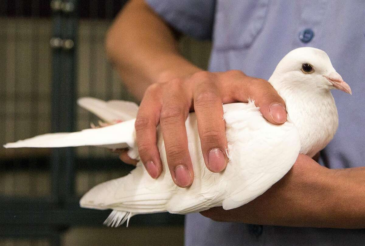 A San Francisco Animal Care and Control employee handles a white pigeon in the small animal wing Thursday, May 10, 2018 in San Francisco, Calif. Domesticated white pigeons have been turning up with increasing frequency at some Bay Area animal shelters. After getting released during ceremonies, the birds can't survive on their own, and many die.