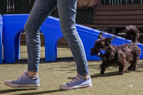 Felicia the dog, formerly known as Felton from Total Muni 2018, plays in the yard at San Francisco Animal Care and Control with Fetch volunteer Jody Huth Thursday, May 10, 2018 in San Francisco, Calif.